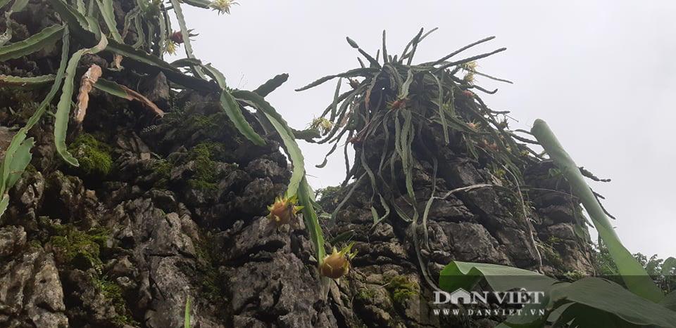 Trồng thanh long trắng trên đá, vừa có quả ăn, hoa bung nở đẹp như phim ngôn tình  - Ảnh 6.