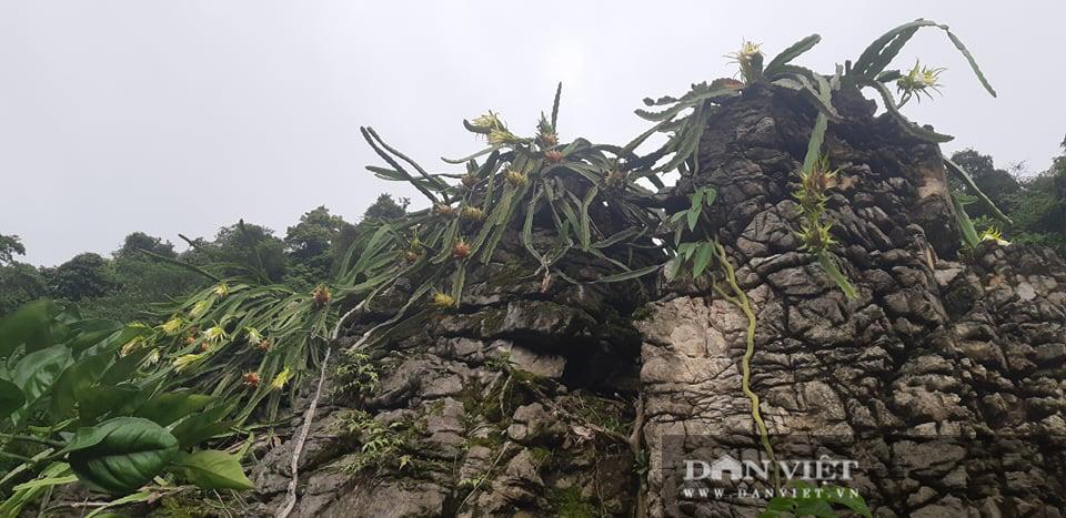 Trồng thanh long trắng trên đá, vừa có quả ăn, hoa bung nở đẹp như phim ngôn tình  - Ảnh 1.