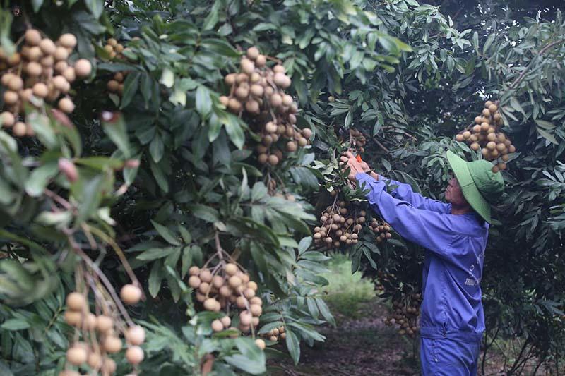 Biến động bên Tây, trái cây Việt gặp khó dội chợ, rẻ như rau - Ảnh 2.