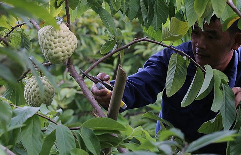 Trồng loại quả bán 1 trái bằng 10kg bí xanh, dân Lạng Sơn trúng đậm - Ảnh 2.
