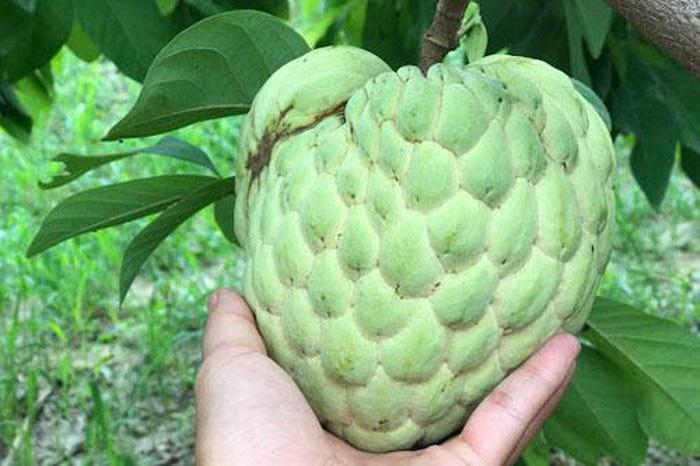 Trồng loại quả bán 1 trái bằng 10kg bí xanh, dân Lạng Sơn trúng đậm - Ảnh 1.