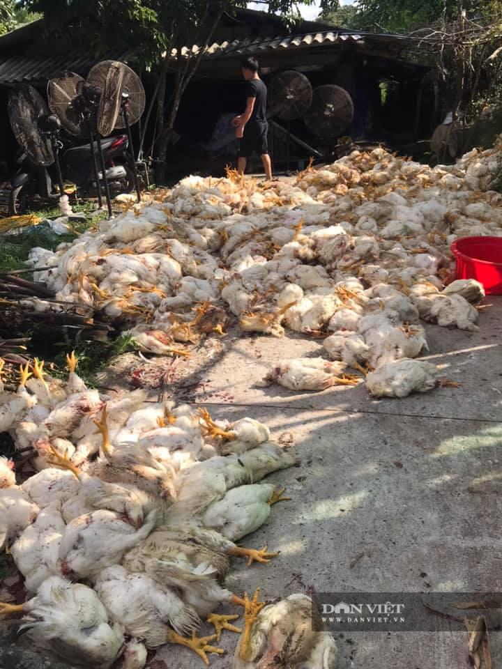 Gà nhiều tháng mất giá, trang trại lại liên tiếp 'đổ gục' vì sự cố, người nuôi choáng váng - Ảnh 1.