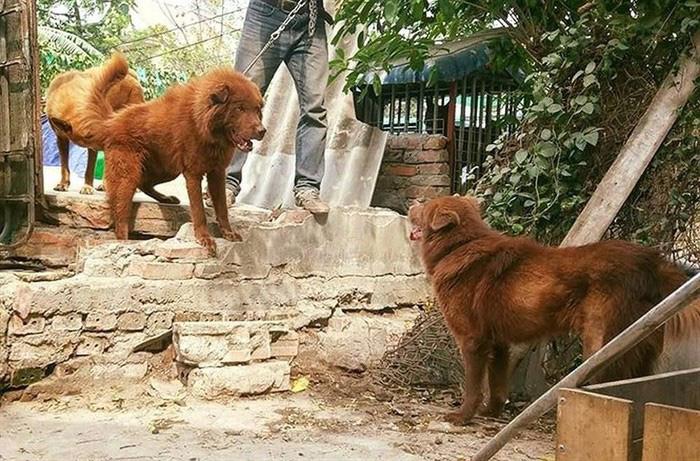 """""""Tứ đại quốc khuyển"""" của Việt Nam gồm những giống chó quý hiếm nào? - Ảnh 2."""