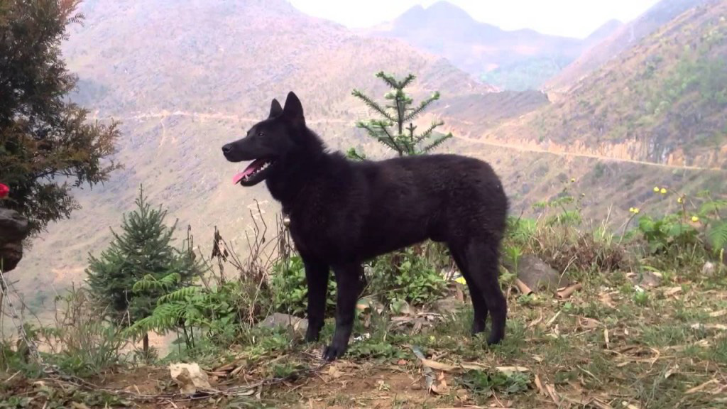 """""""Tứ đại quốc khuyển"""" của Việt Nam gồm những giống chó quý hiếm nào? - Ảnh 10."""