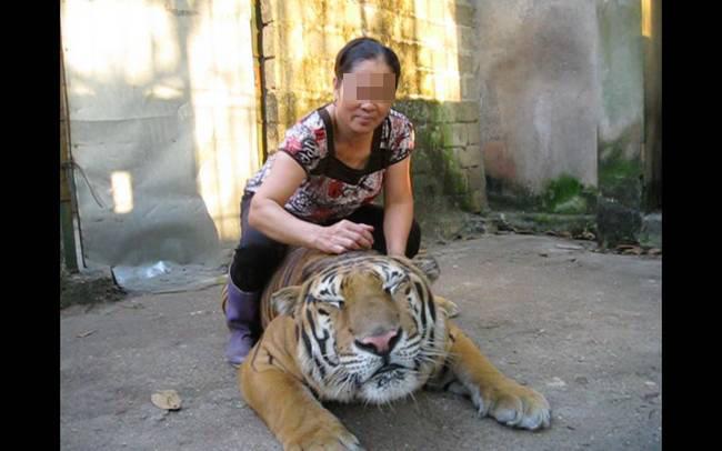 """Từ loạt bài """"Xâm nhập đường dây buôn bán hổ xuyên quốc gia"""": Tổng kiểm tra tất cả cơ sở nuôi nhốt hổ  - Ảnh 1."""