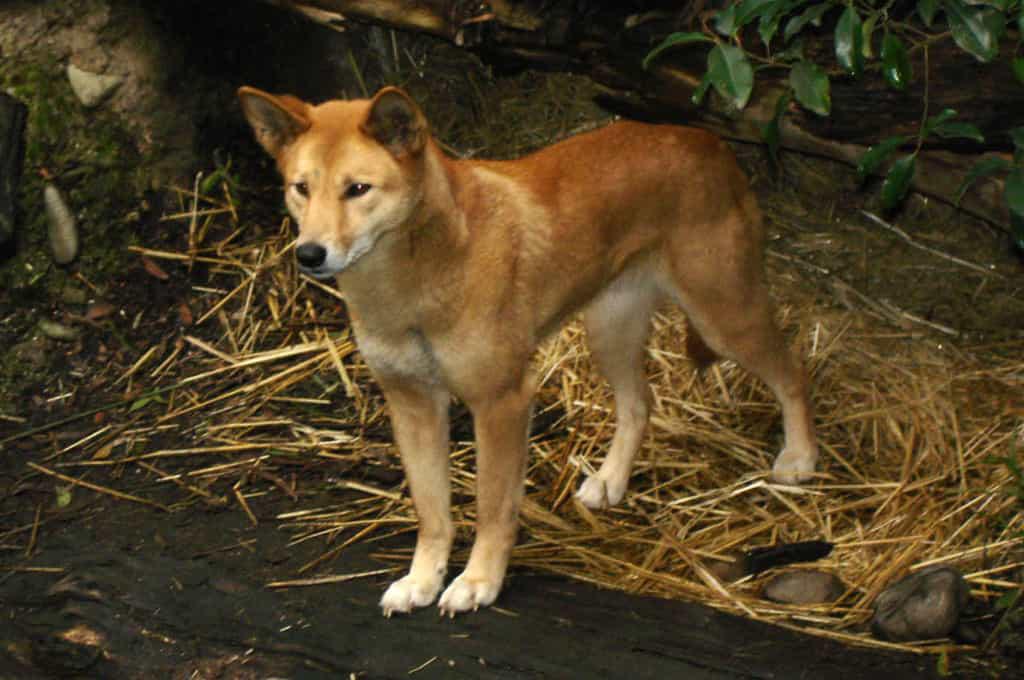 """""""Tứ đại quốc khuyển"""" của Việt Nam gồm những giống chó quý hiếm nào? - Ảnh 8."""