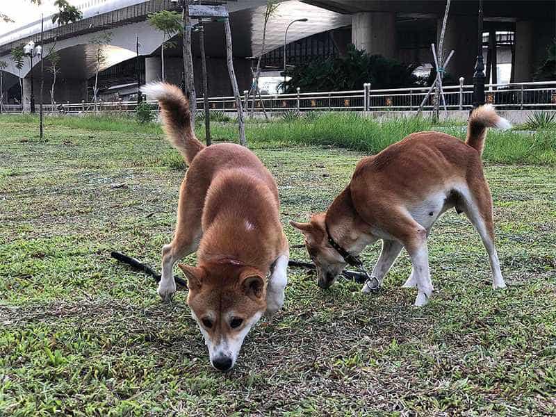 """""""Tứ đại quốc khuyển"""" của Việt Nam gồm những giống chó quý hiếm nào? - Ảnh 7."""