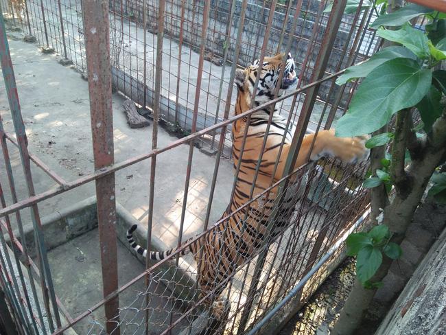 """Từ loạt bài """"Xâm nhập đường dây buôn bán hổ xuyên quốc gia"""": Tổng kiểm tra tất cả cơ sở nuôi nhốt hổ  - Ảnh 2."""