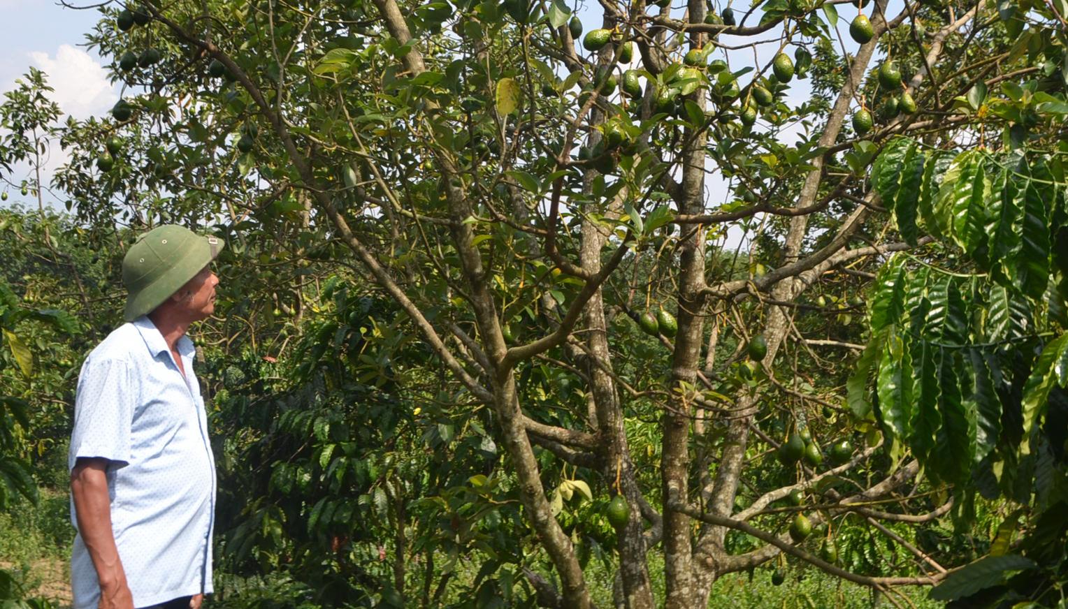Vùng đất một thời bom đạn tơi bời, nay trồng sầu riêng ra lắm quả, trồng bơ tứ quý trái trĩu cành - Ảnh 5.