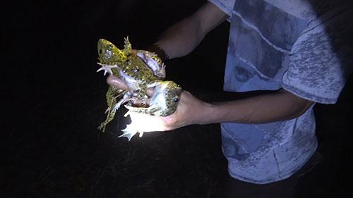 Soi ếch đồng đầu mùa mưa, nồi niêu, dao thớt cứ lục đục cả đêm - Ảnh 1.