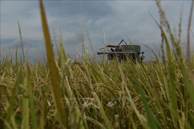 Chiến lược lúa gạo mới của Thái Lan chú trọng vào sản lượng, cây giống - Ảnh 1.