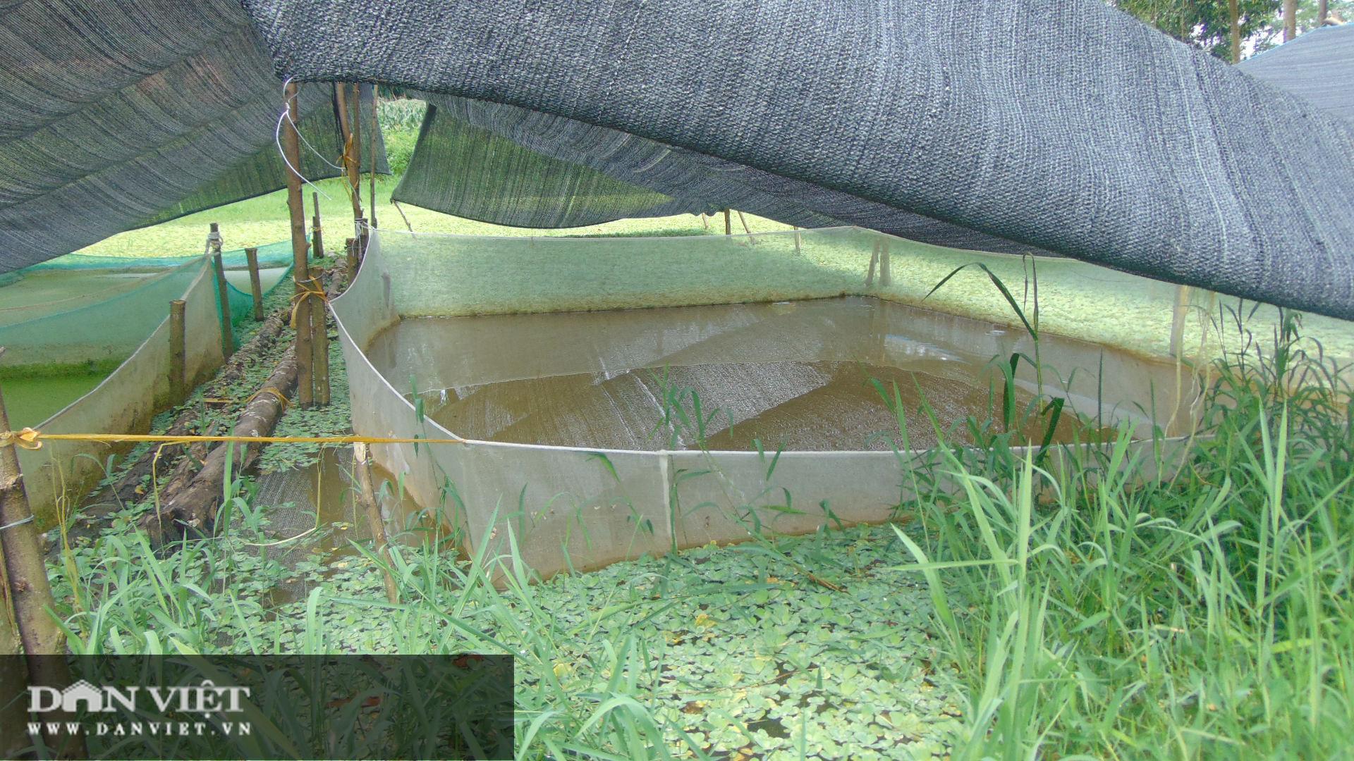 Thái Nguyên: Thanh niên trẻ thu hàng chục triệu mỗi ngày nhờ nuôi con ăn bèo dưới nước - Ảnh 1.