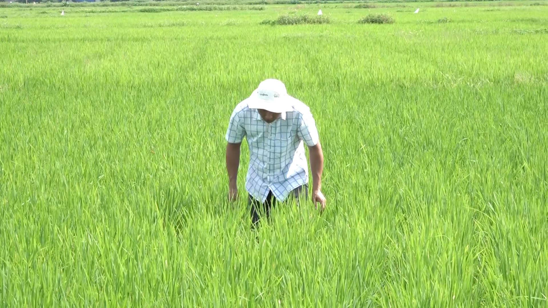 ĐBSH xuất hiện dịch bệnh hại trên lúa, Cục BVTV yêu cầu các tỉnh tập trung bảo vệ 840.000ha lúa - Ảnh 3.