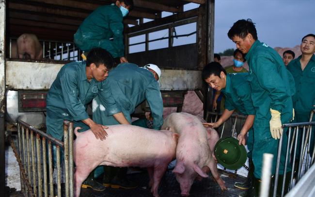 Giá lợn hơi vừa hạ, người nuôi ngay lập tức bị lỗ nặng - Ảnh 1.