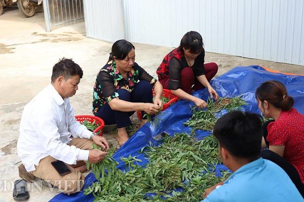 """Phú Thọ: Lập HTX, gắn mác cho """"rau nhà nghèo"""" thu mỗi ngày cả triệu đồng - Ảnh 5."""