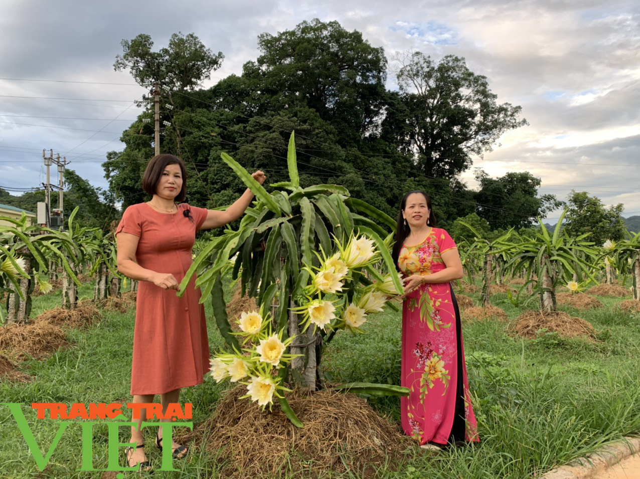 Nông dân Sơn La: Trồng cây cho trái vàng tươi, thu về vàng thật - Ảnh 1.