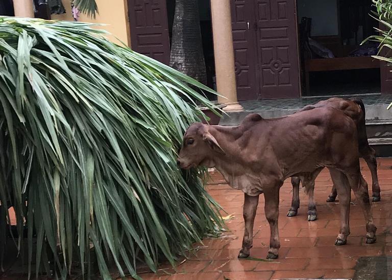 """Nuôi những con bò lạ đặc sản, to """"khổng lồ"""" thế này, nông dân Hà Nội làm giàu được là cái chắc - Ảnh 1."""