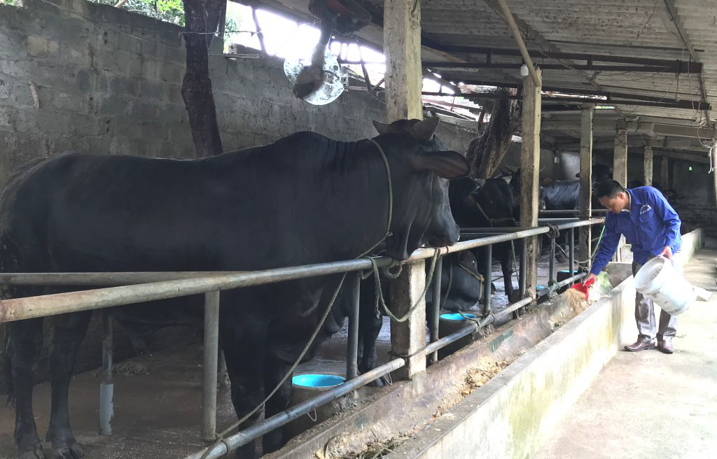 """Nuôi những con bò lạ đặc sản, to """"khổng lồ"""" thế này, nông dân Hà Nội làm giàu được là cái chắc - Ảnh 3."""