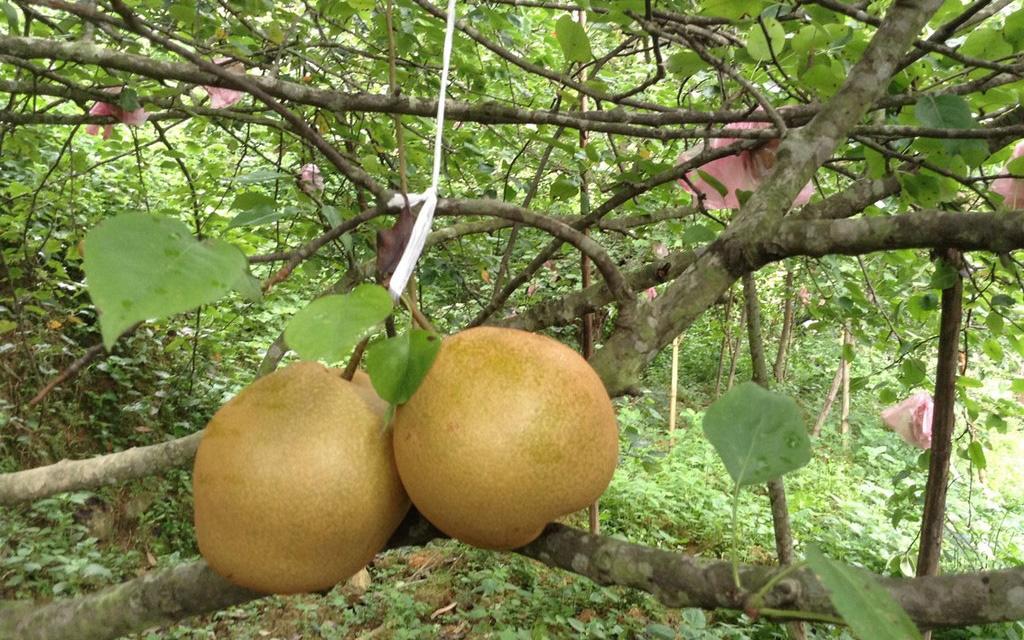 Lê Đông Khê - loại quả đáng ăn nhất Việt Nam được cấp nhãn hiệu chứng nhận - Ảnh 1.