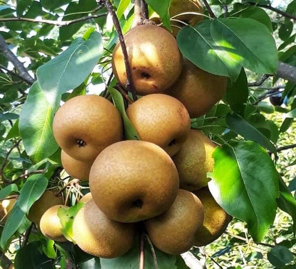 Lê Đông Khê - loại quả đáng ăn nhất Việt Nam được cấp nhãn hiệu chứng nhận - Ảnh 3.