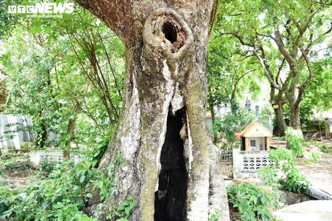Cận cảnh rặng thị cổ gần nghìn năm tuổi ở Hải Phòng chín vàng mùa Vu Lan - Ảnh 5.