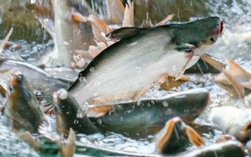Đáng buồn: Nông dân bấm bụng nuôi báo cô hàng trăm tấn cá tra quá lứa, con nào cũng to  - Ảnh 1.