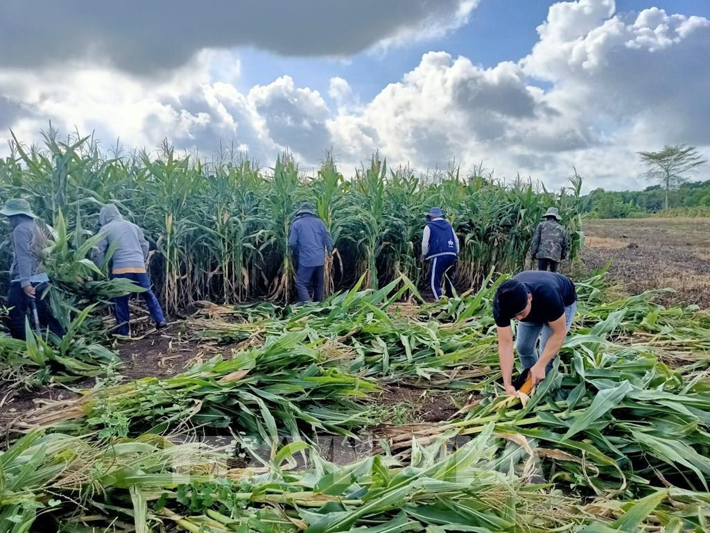 Dân ở huyện Châu Đức đổ xô đi trồng ngô nhưng lại chỉ lấy thân mà có thu nhập cực cao - Ảnh 1.