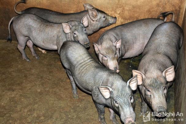 Giá lợn hơi nhiều nơi lao dốc, ở đây có loại thịt lợn giữ giá kỷ lục 200.000 đồng/kg - Ảnh 1.