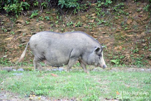 Giá lợn hơi nhiều nơi lao dốc, ở đây có loại thịt lợn giữ giá kỷ lục 200.000 đồng/kg - Ảnh 2.