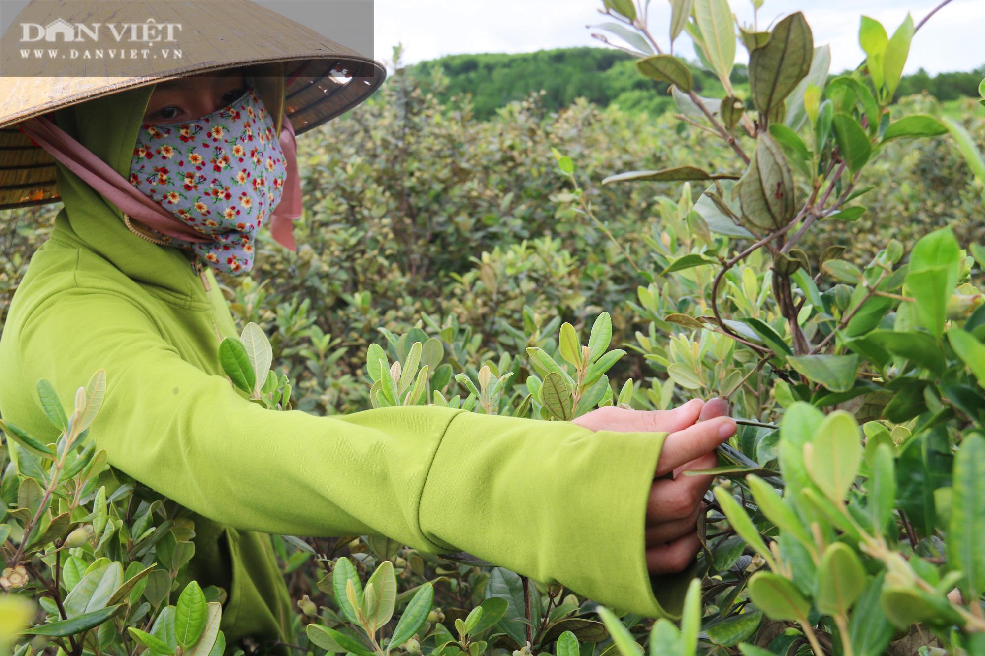 Hà Tĩnh: Người dân đổ xô lên đồi hái sim rừng, kiếm tiền triệu mỗi ngày - Ảnh 3.