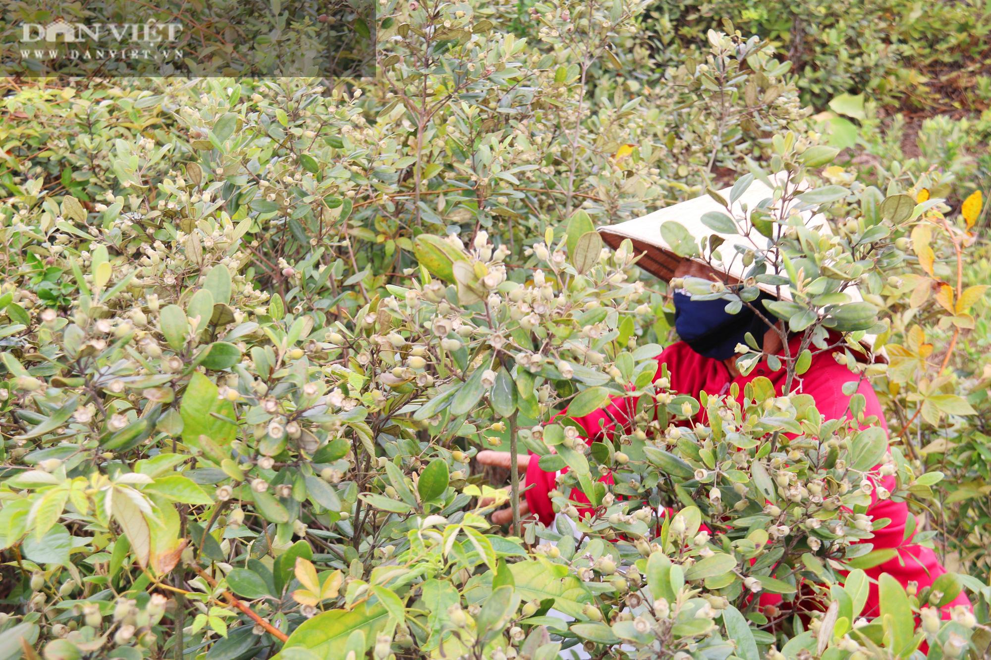 Hà Tĩnh: Người dân đổ xô lên đồi hái sim rừng, kiếm tiền triệu mỗi ngày - Ảnh 4.