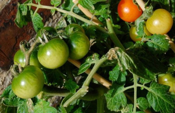 Lạ đời cách trồng cà chua thái miếng chỉ mất vài phút, sau được cả vườn cà chua sai trĩu - Ảnh 1.