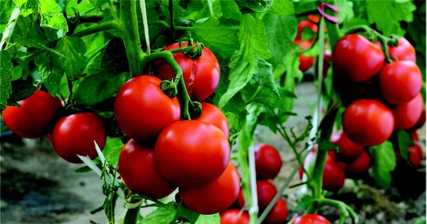 Lạ đời cách trồng cà chua thái miếng chỉ mất vài phút, sau được cả vườn cà chua sai trĩu - Ảnh 11.