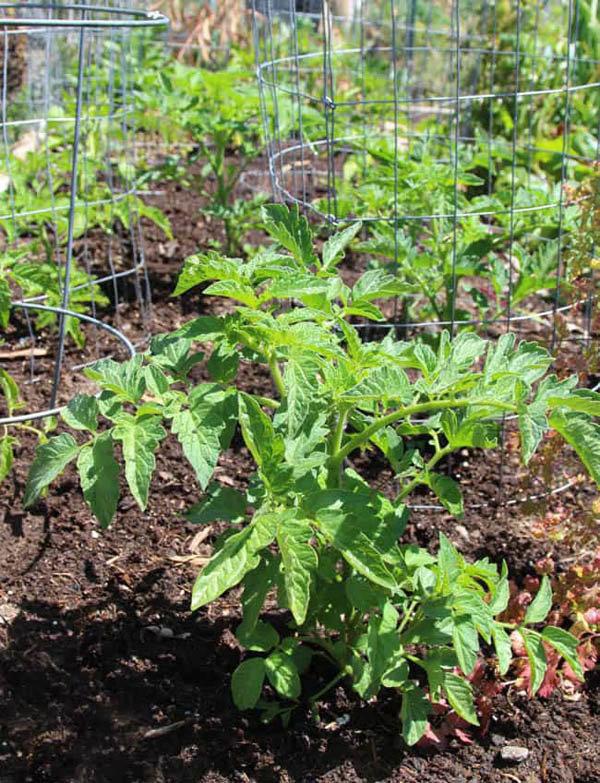 Lạ đời cách trồng cà chua thái miếng chỉ mất vài phút, sau được cả vườn cà chua sai trĩu - Ảnh 10.