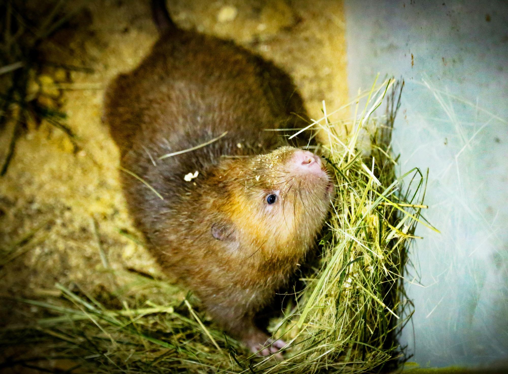 Hà Tĩnh: Nuôi loài chuột khổng lồ, sống không cần nước, lớn lên bán tiền triệu mỗi cặp - Ảnh 3.