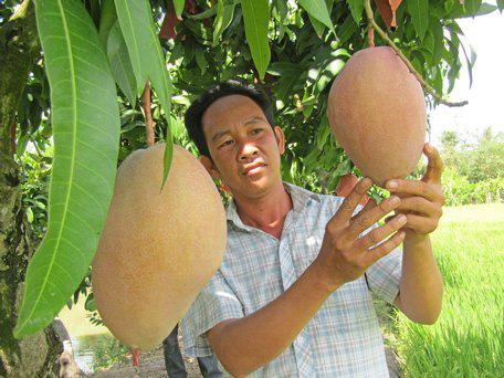 """Vĩnh Long: Giống xoài lạ màu hồng phấn, có trái """"khủng"""" nặng 2,6kg, giá bán gấp 3 xoài thường - Ảnh 1."""