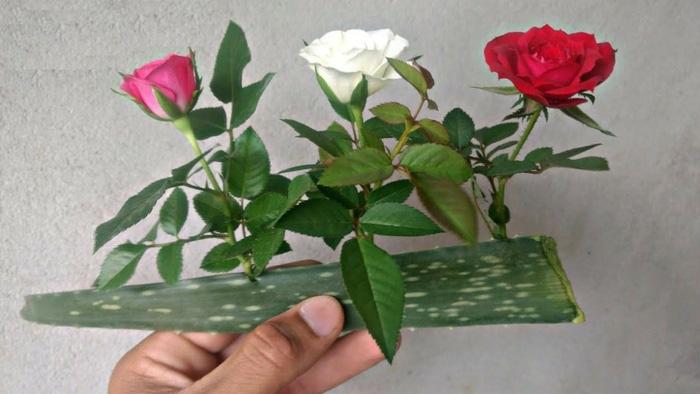 Trồng hoa hồng bằng lá lô hội, tưởng dở ngờ đâu sau khi thấy thành quả, ai cũng muốn học theo - Ảnh 3.