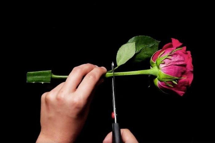 Trồng hoa hồng bằng lá lô hội, tưởng dở ngờ đâu sau khi thấy thành quả, ai cũng muốn học theo - Ảnh 1.