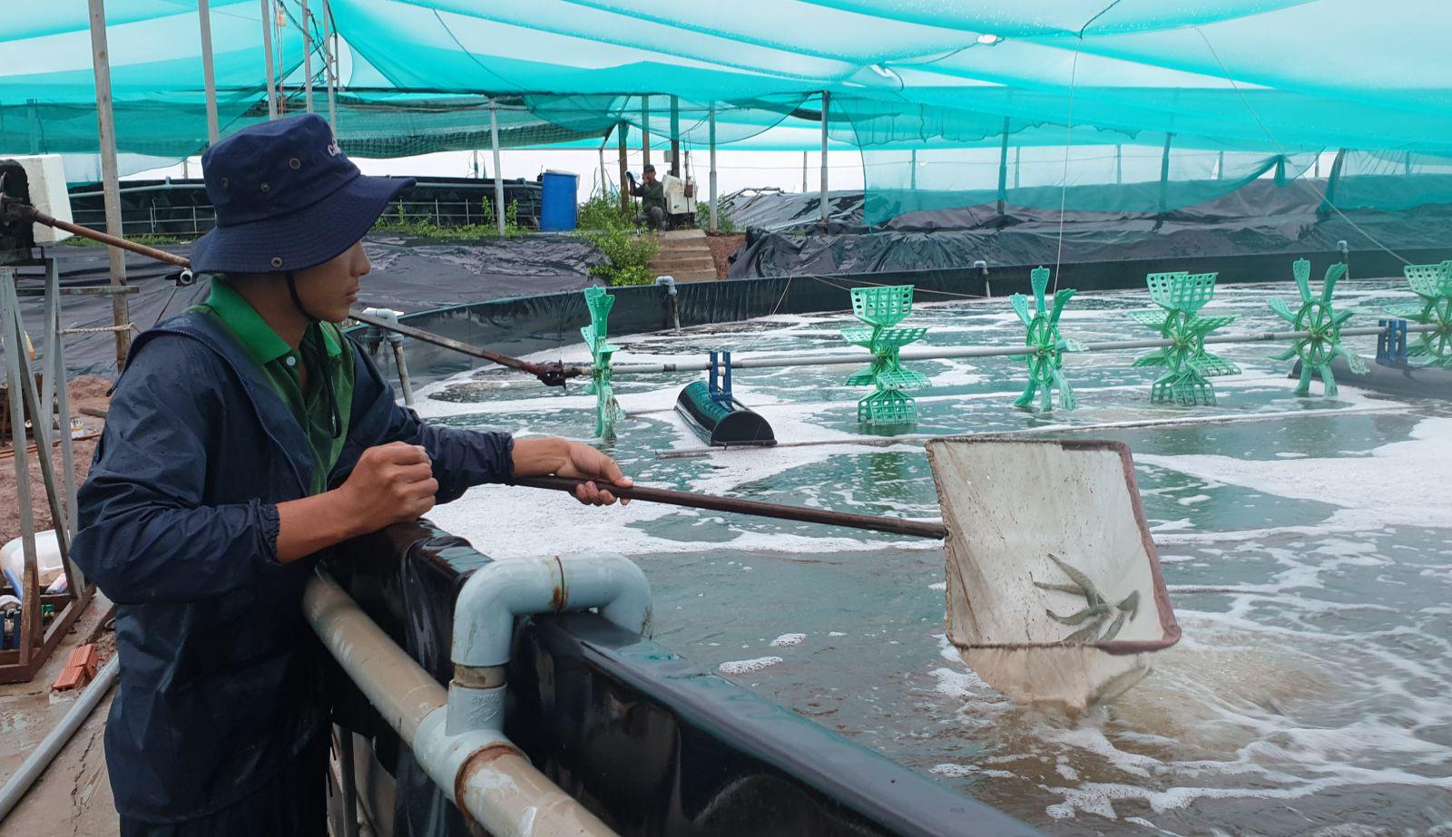 Bạc Liêu: Làm hồ trên cạn nuôi tôm công nghệ cao, 1 năm nuôi 3-4 vụ, mỗi vụ thu 2 tỷ - Ảnh 3.