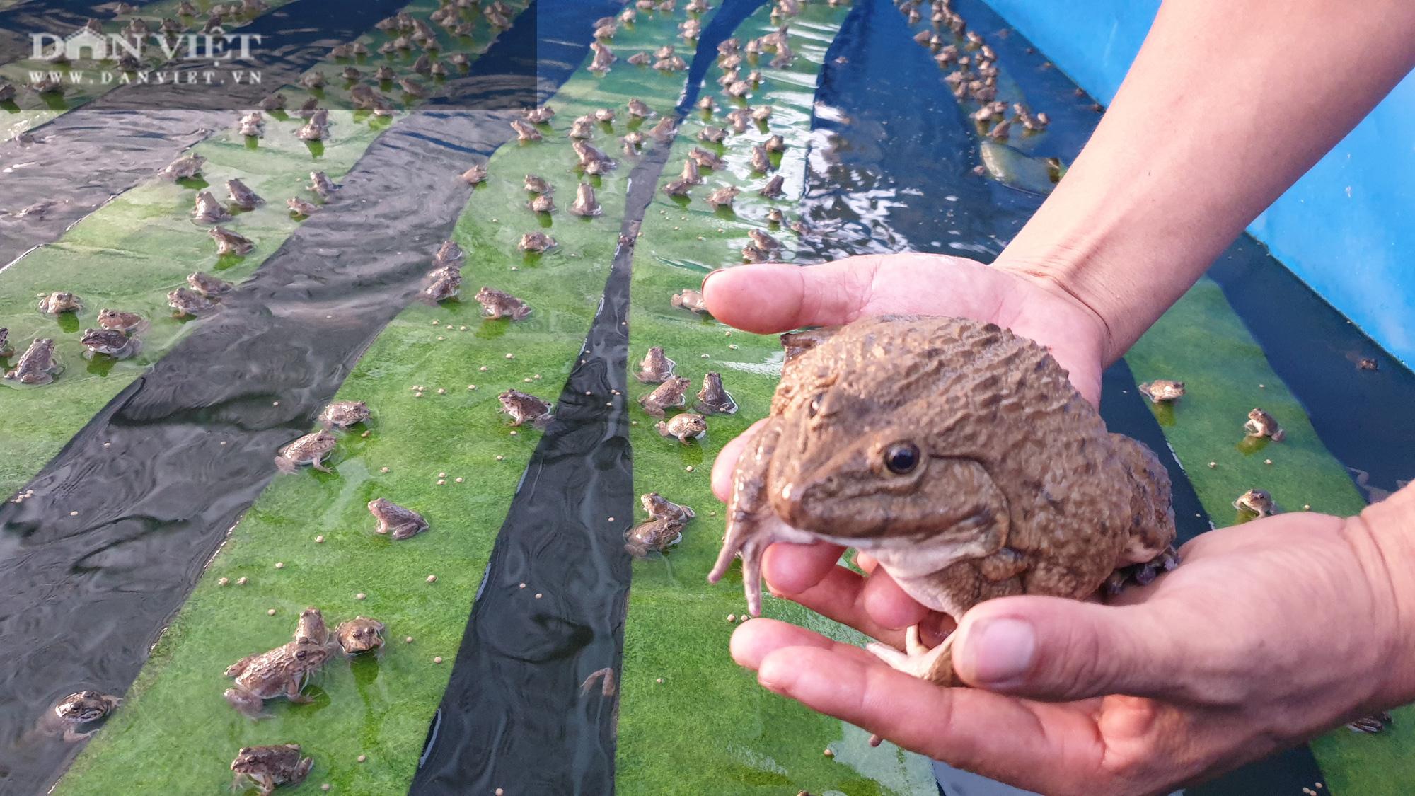 Nam Định: 9x về quê miệt mài nuôi ếch, bỏ túi gần nửa tỷ mỗi năm  - Ảnh 2.
