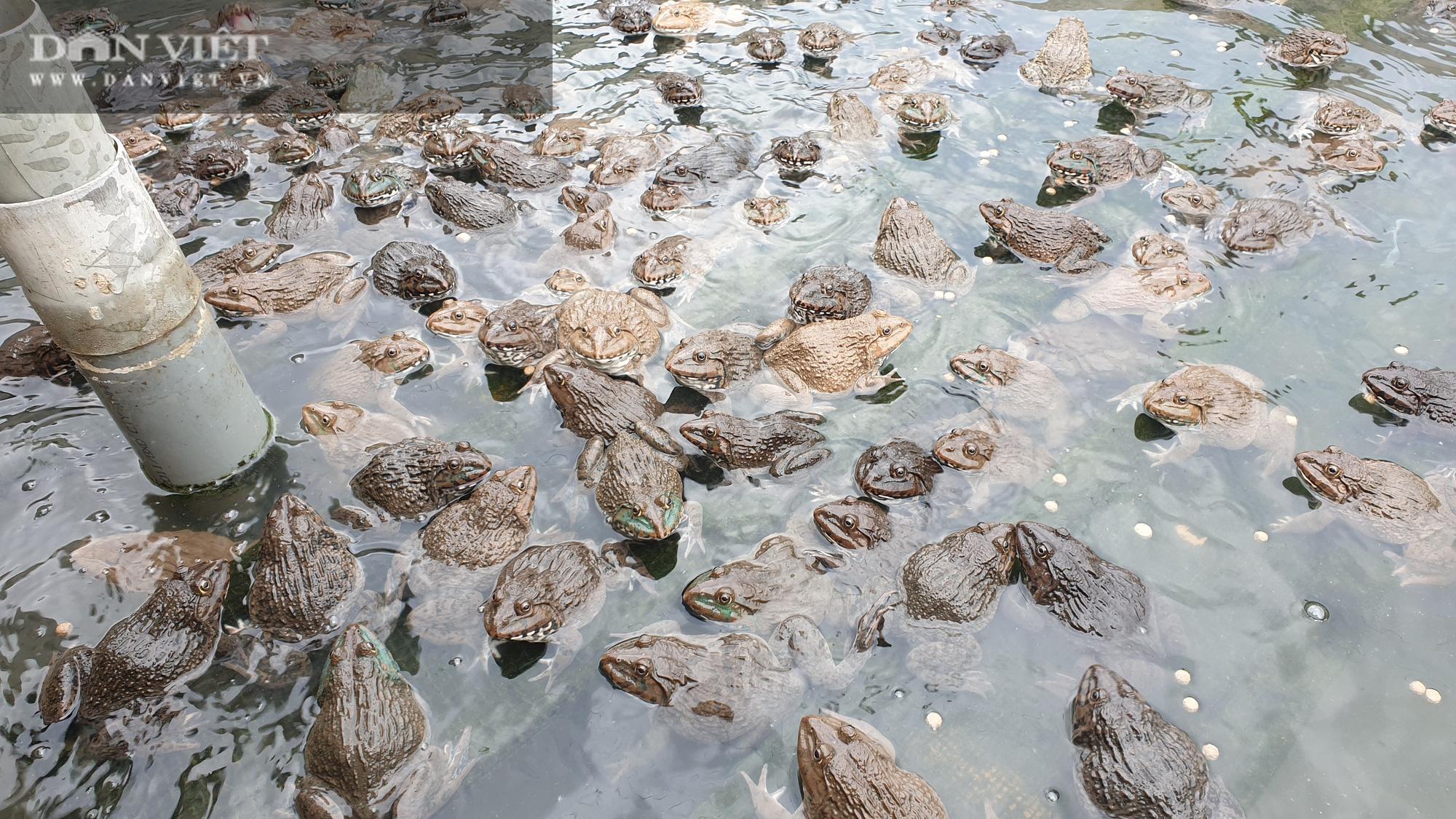 Nam Định: 9x về quê miệt mài nuôi ếch, bỏ túi gần nửa tỷ mỗi năm  - Ảnh 4.