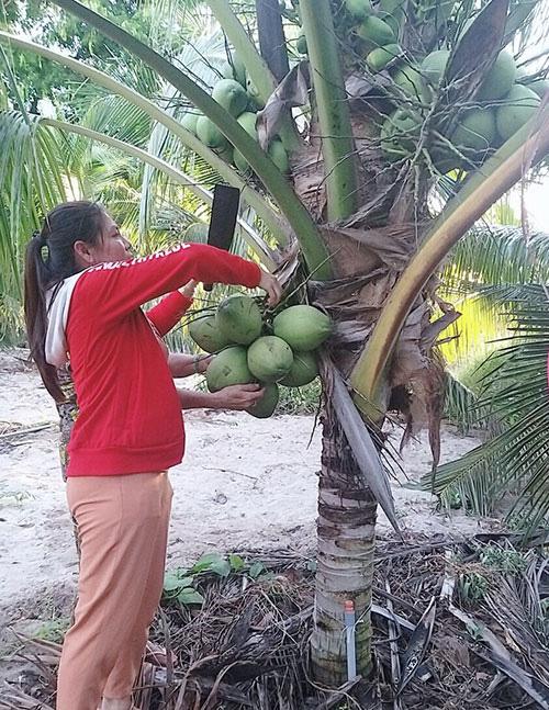 Bình Thuận: Trồng thứ dừa cây thấp tè đã ra trái quá trời, nông dân bảo lãi nhiều mà không vất vả - Ảnh 1.