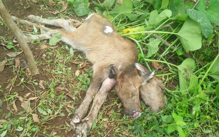 Lạng Sơn: Một con trâu đẻ ra 1 con nghé 2 đầu gây sửng sốt