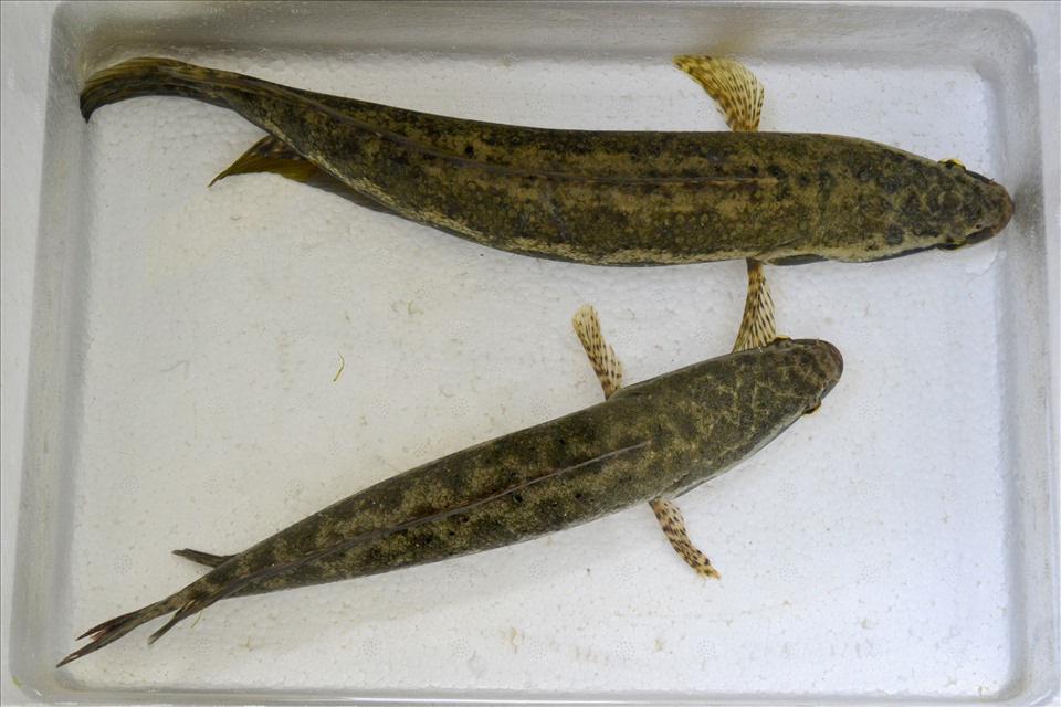 Một trường Đại học ở tỉnh Kiên Giang nhân giống thành công loài cá dày nhìn y hệt con cá lóc - Ảnh 4.