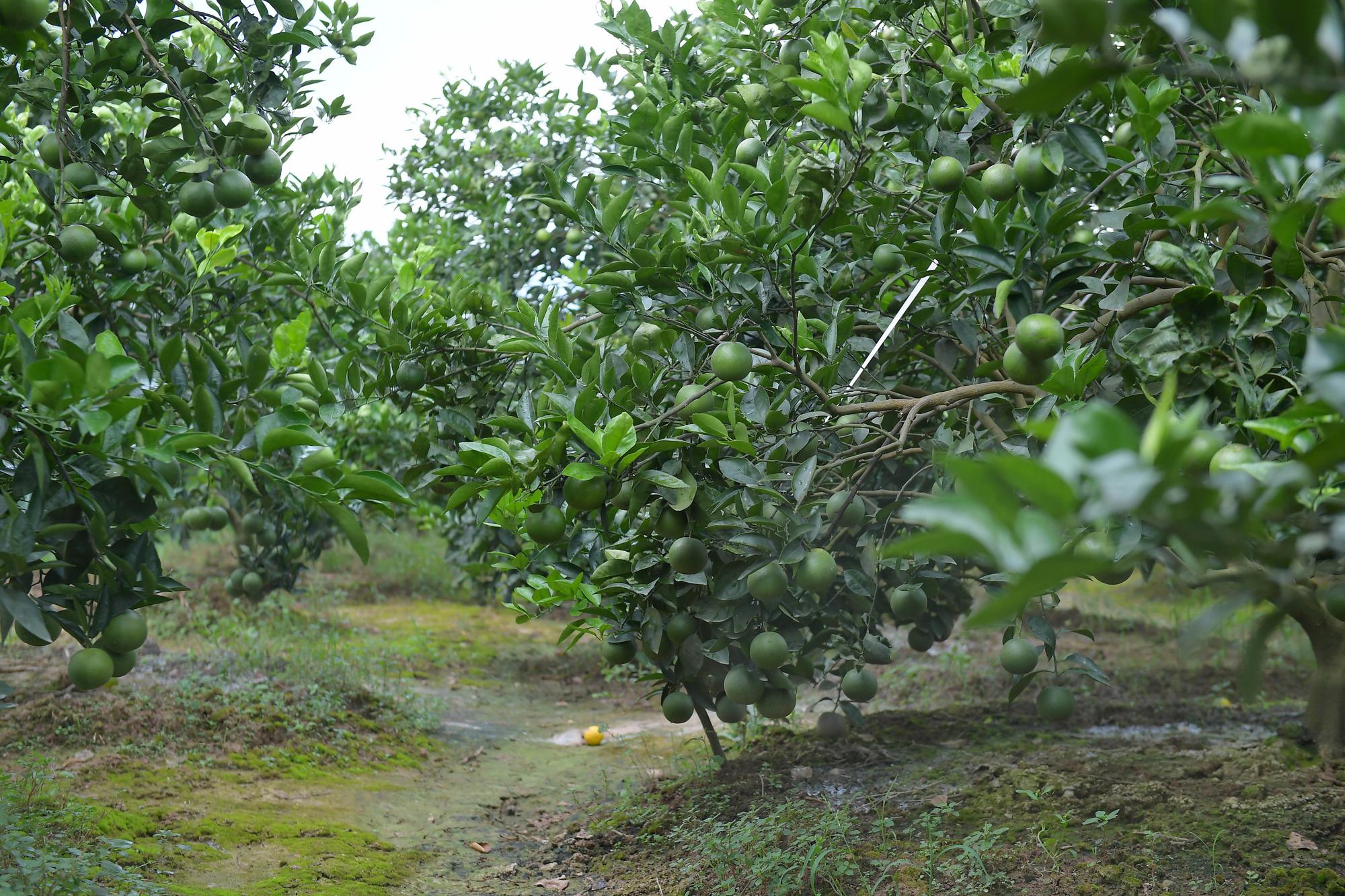 Dân ở đây trồng cam đặc sản ngon nức tiếng, cây sai trĩu quả, thu vài trăm triệu đồng một vụ là chuyện thường - Ảnh 7.