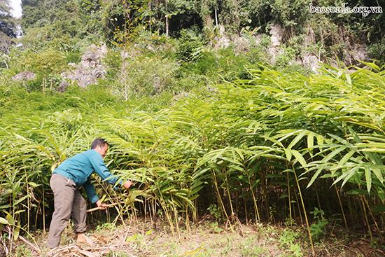 Trồng loại cây an thai, quả khô bán gần 1 triệu/kg, bà con miền núi đếm tiền mỏi tay - Ảnh 3.