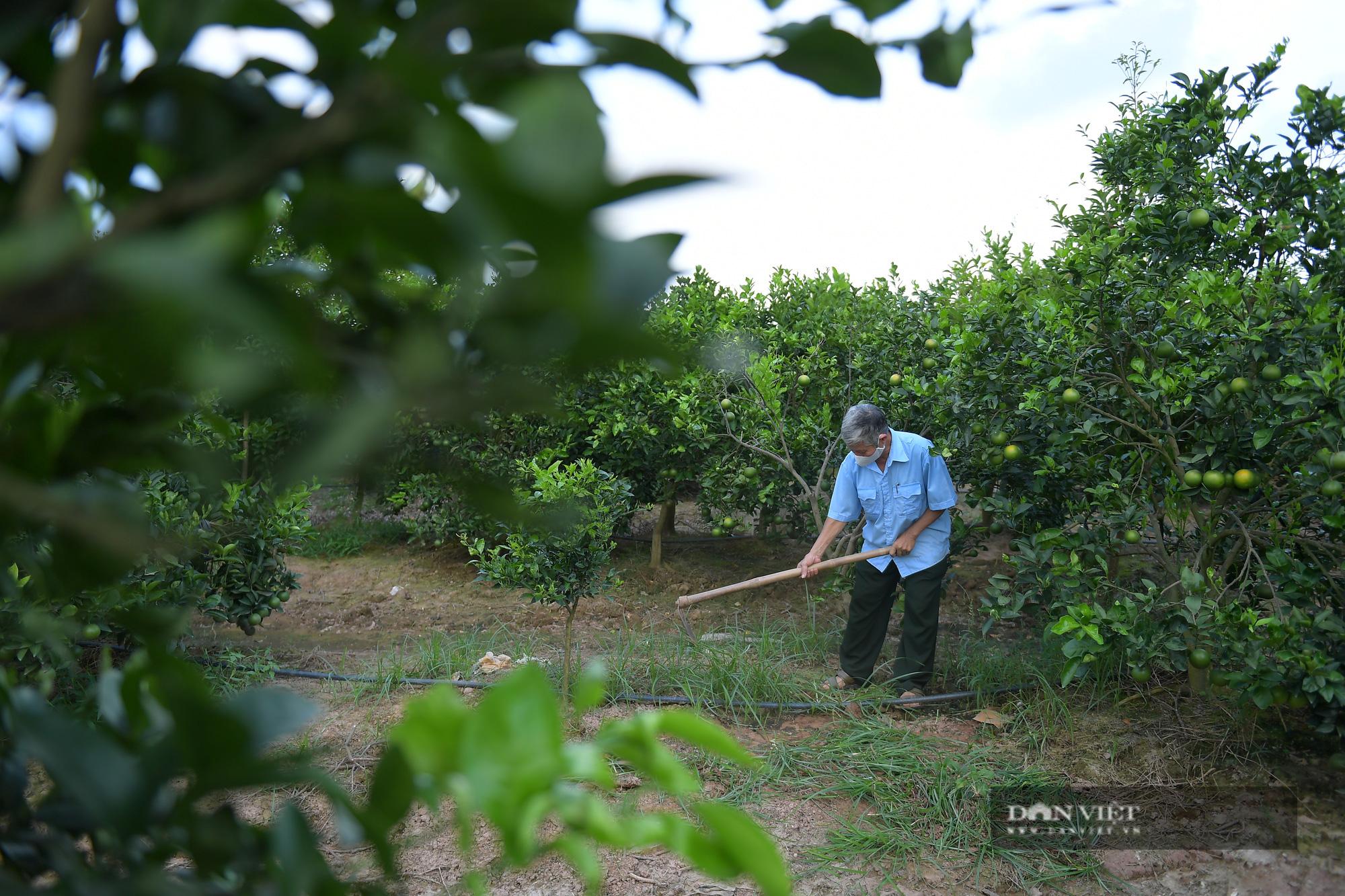 Dân ở đây trồng cam đặc sản ngon nức tiếng, cây sai trĩu quả, thu vài trăm triệu đồng một vụ là chuyện thường - Ảnh 8.