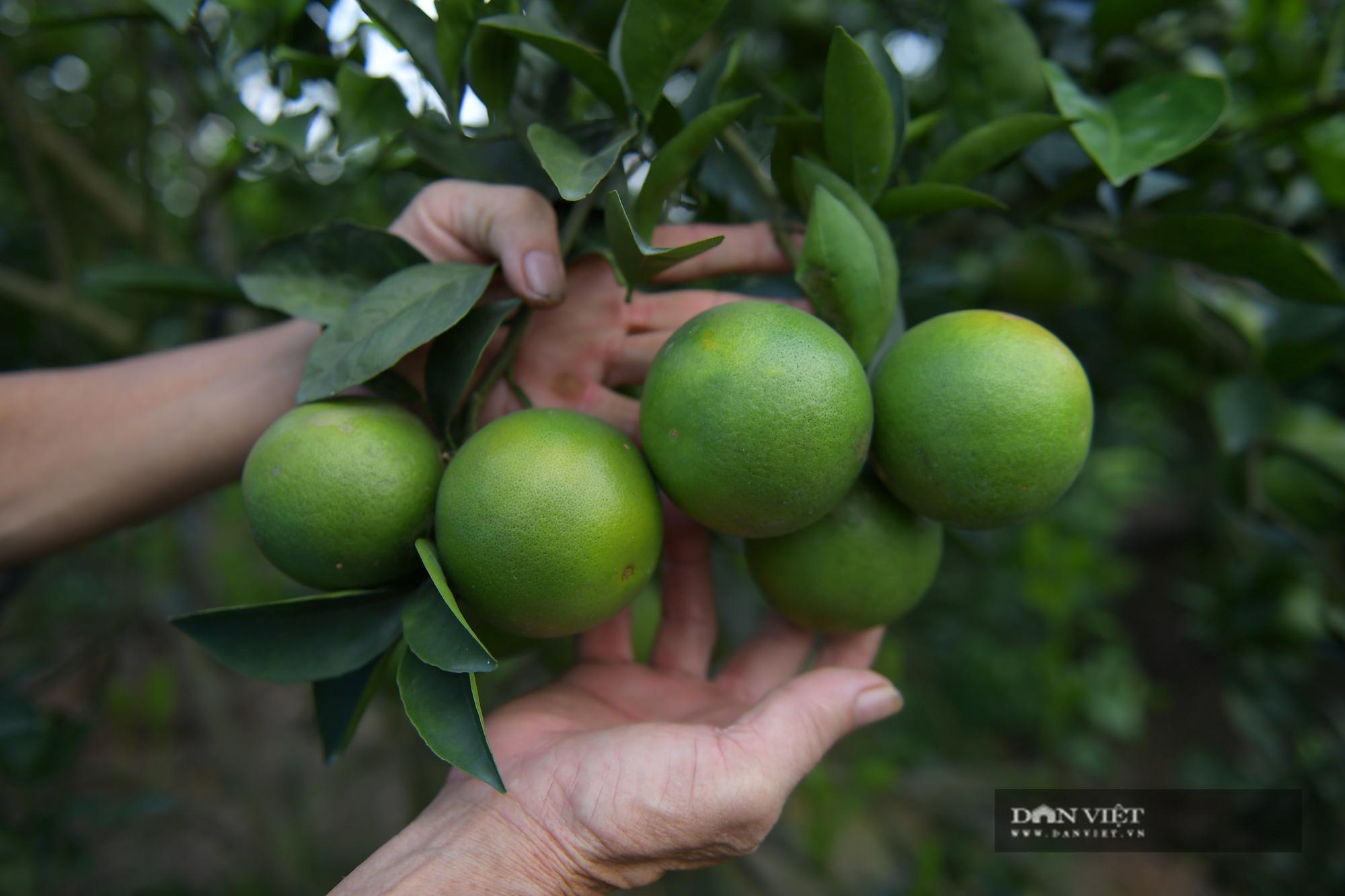 Dân ở đây trồng cam đặc sản ngon nức tiếng, cây sai trĩu quả, thu vài trăm triệu đồng một vụ là chuyện thường - Ảnh 9.
