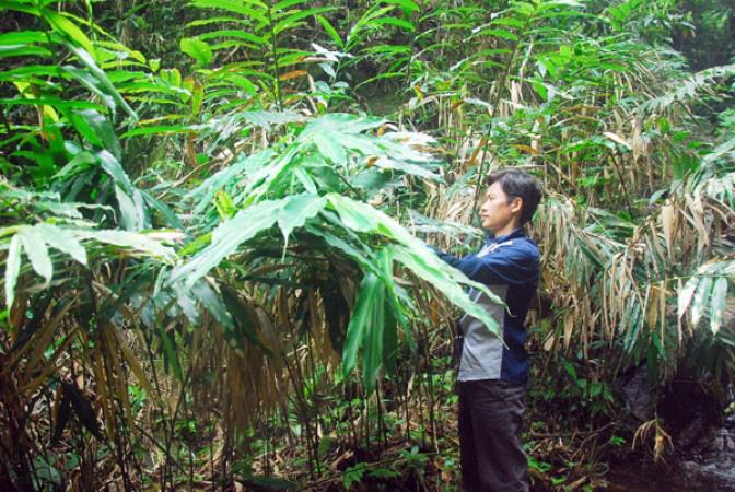 Trồng loại cây an thai, quả khô bán gần 1 triệu/kg, bà con miền núi đếm tiền mỏi tay - Ảnh 2.