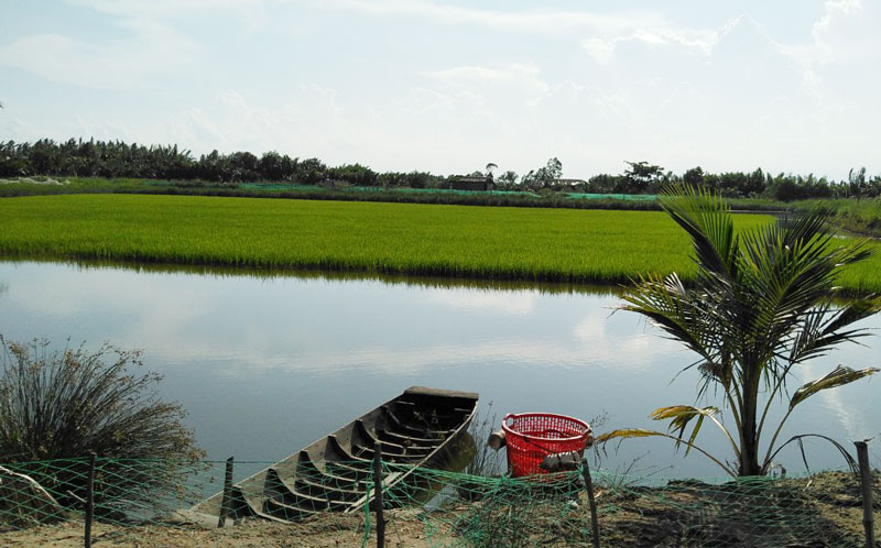 Bến Tre: Vì sao con tôm càng xanh toàn đực nuôi trong ruộng lúa lại phải bị bẻ càng tới 3 lần? - Ảnh 1.